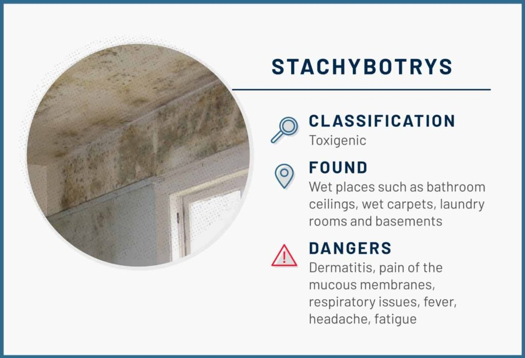 stachybotrys mold in home
